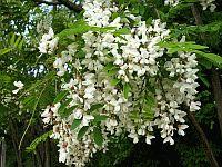 Kvitnúci agát