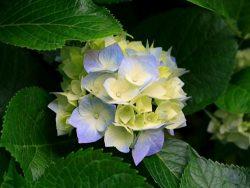 Hortenzia (Hydrangea)